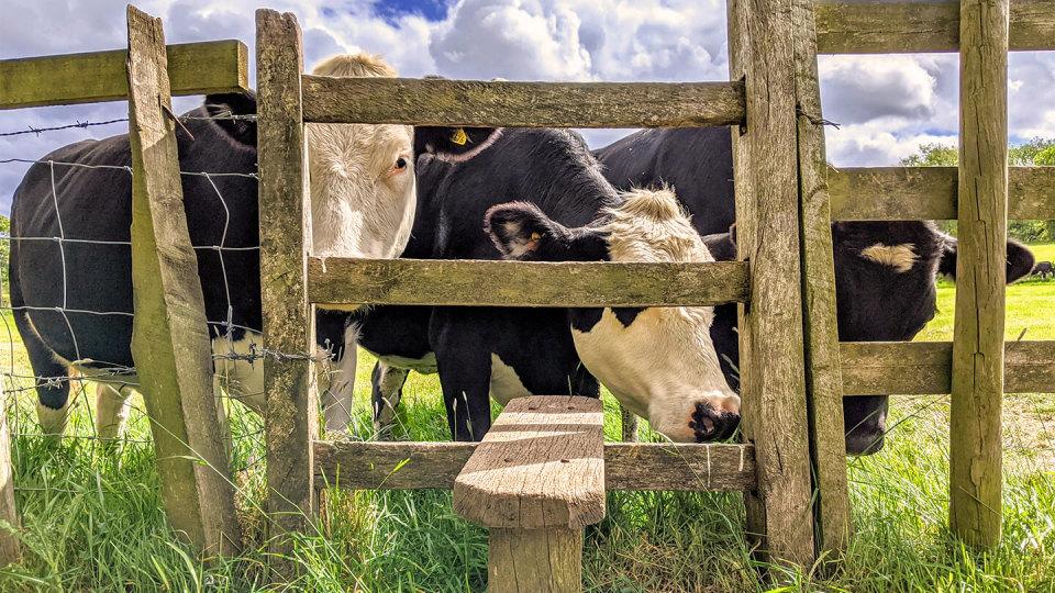Newsroom - cows on public footpath in field - public liability - farmer duty of care